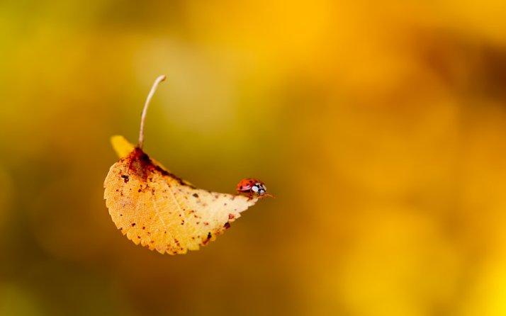 177592__ladybug-beetle-insect-leaf-fall-fall_p